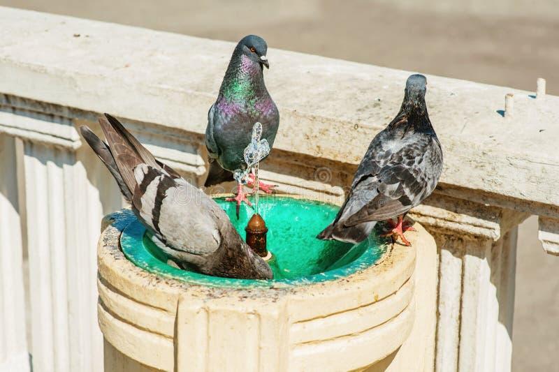 Gołębie kąpać i piją od fontanny obraz stock