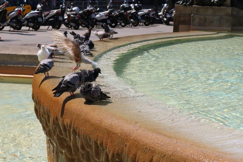 Gołębie kąpać się w fontannie obraz royalty free