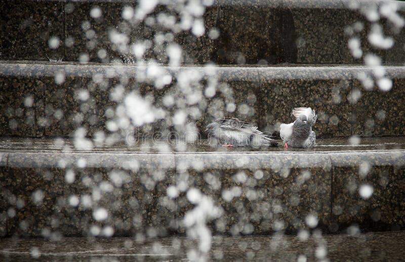 Download Gołębie kąpać w fontannie zdjęcie stock. Obraz złożonej z plenerowy - 57660504