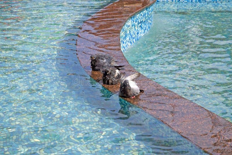 Gołębie kąpać w wiosny fontannie fotografia stock