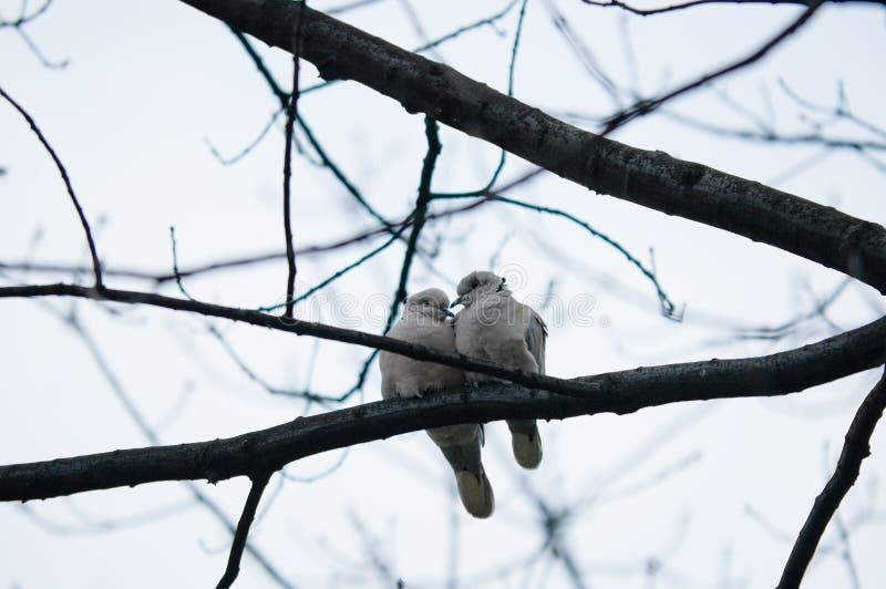 gołębie miłości. zdjęcia stock