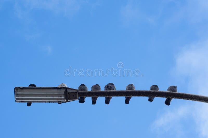 Gołębie na latarni zdjęcia stock