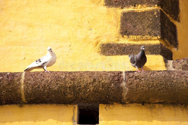 Gołębie na Madeira fotografia royalty free