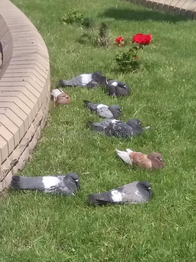 Gołębie na trawie blisko fontanny obraz stock