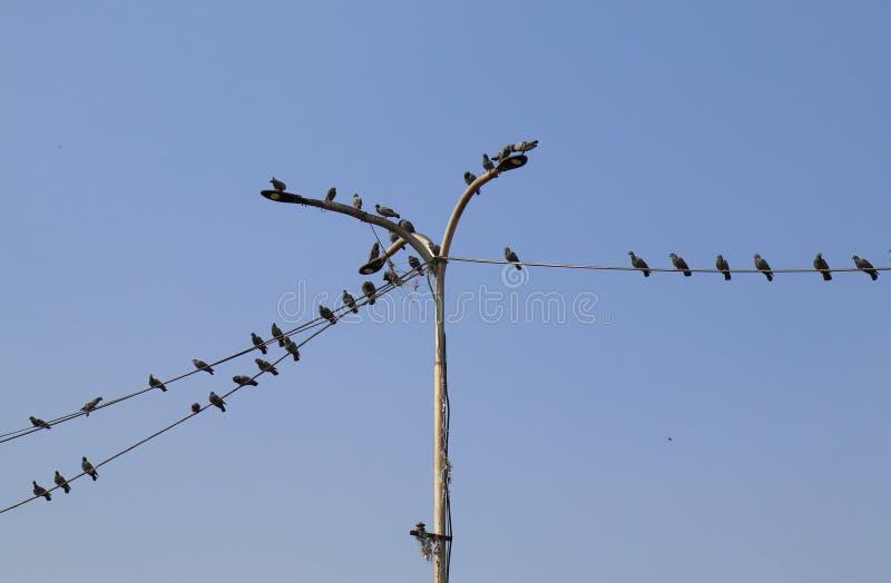 Gołębie odpoczywa na linii energetycznej India zdjęcie royalty free