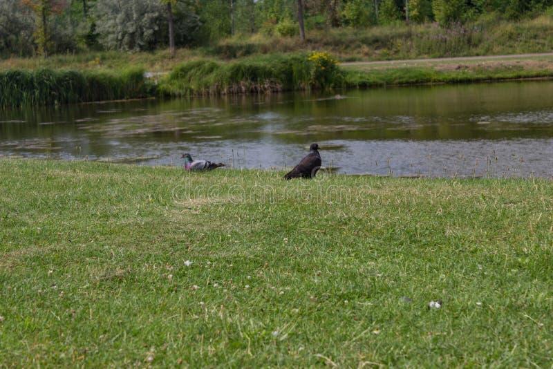 Gołębie przy jeziorem zdjęcie royalty free