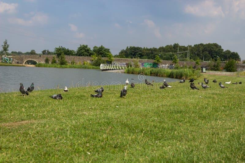 Gołębie przy jeziorem zdjęcia stock