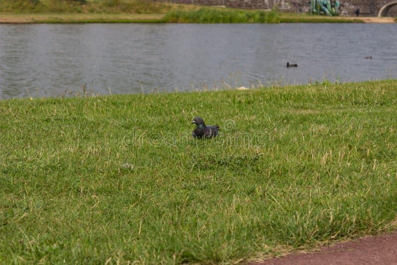 Gołębie przy jeziorem zdjęcia royalty free