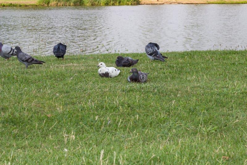 Gołębie przy jeziorem zdjęcie stock