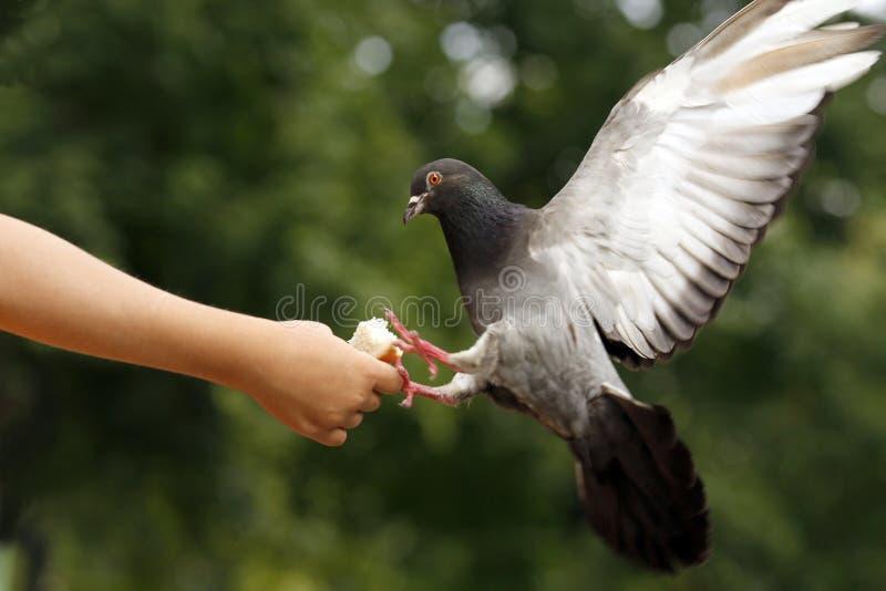 gołębie ręka dziecka fotografia royalty free