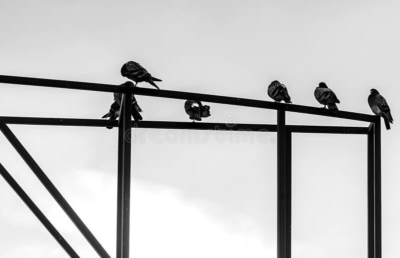 Gołębie siedzą na metal budowie czarny i biały zdjęcie stock