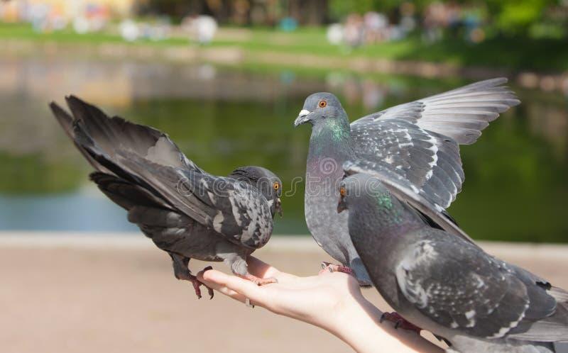 gołębie trzy zdjęcia stock