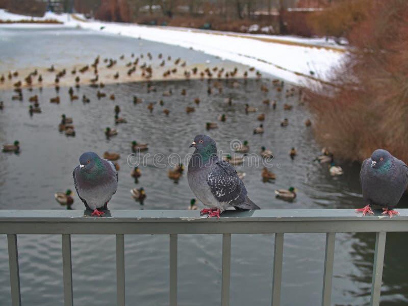 Gołębie zimowe wylądowały na rogu mostu zdjęcia stock