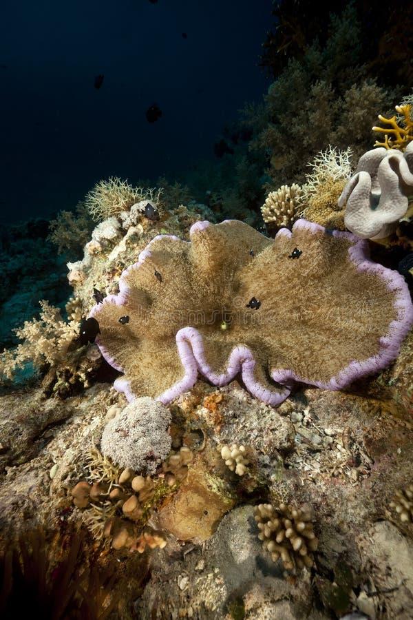 Gości anemon i ryba w Czerwonym Morzu. obraz stock