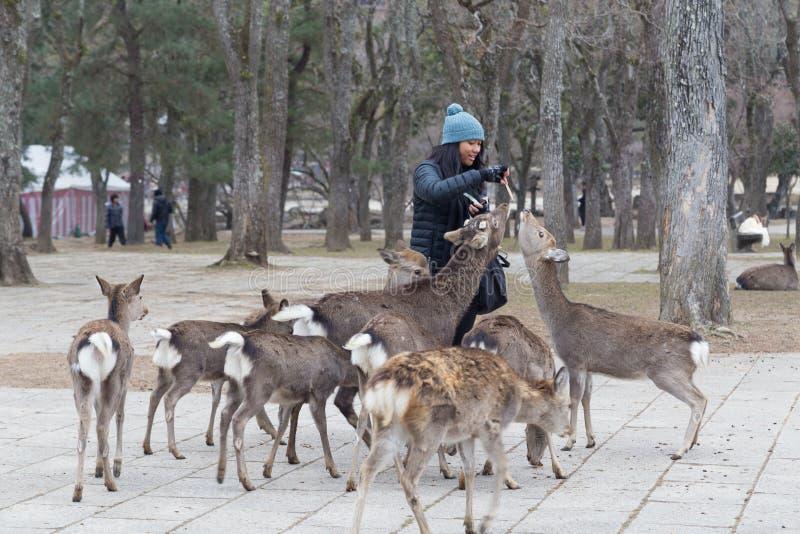 Gościa karmienia niepłochliwy dziki rogacz w Nara parku, Japonia zdjęcia royalty free