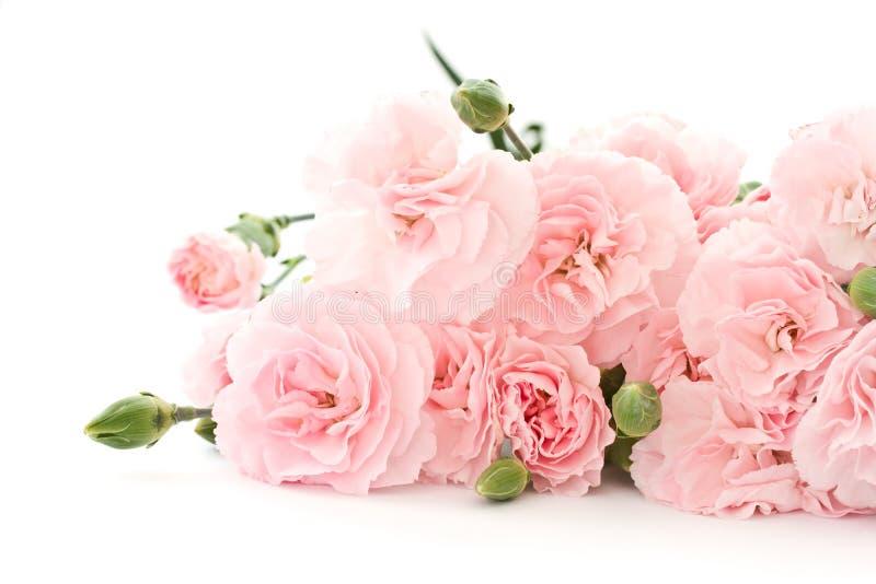 Goździków kwiaty zdjęcia royalty free