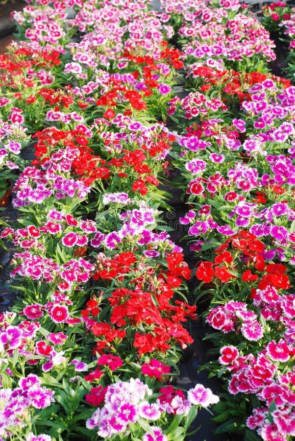 goździków kwiaty obrazy royalty free