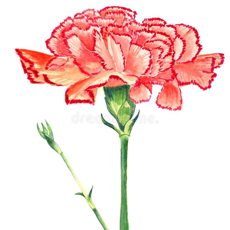 Goździk Goździkowa czerwona akwarela Odosobniony kwiat i pączkuje na białym tle ilustracji