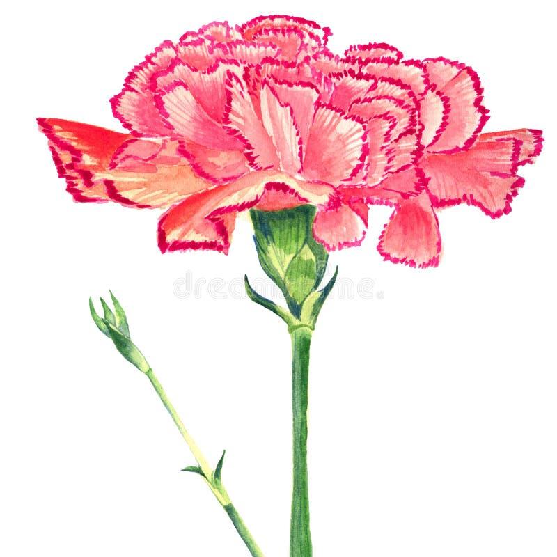 Goździk Goździkowych menchii akwarela Odosobniony kwiat i pączkuje na białym tle fotografia royalty free