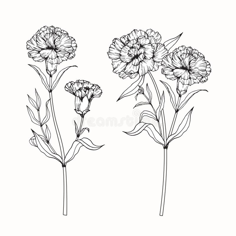 Goździk kwitnie rysunek i nakreślenie z sztuką ilustracji