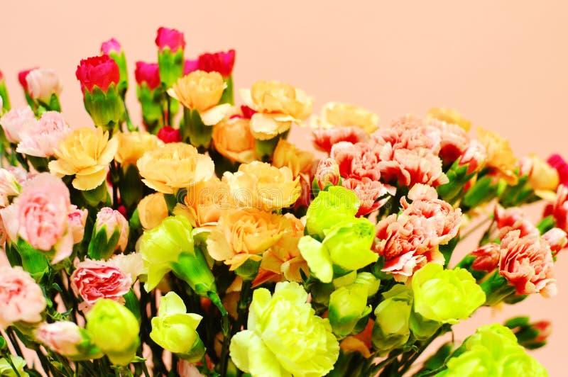 Goździk na różowym tle zdjęcia royalty free