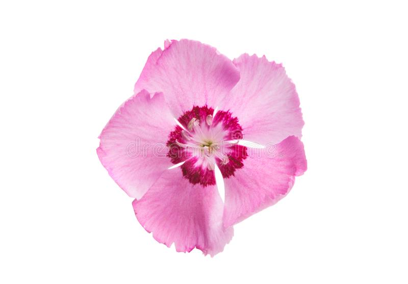 Goździka kwiat odizolowywający obrazy royalty free