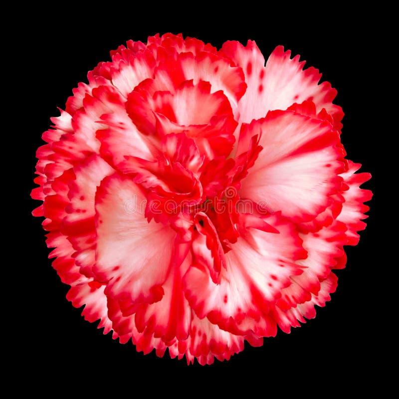 goździka kwiatu odosobniony czerwony biel zdjęcia stock