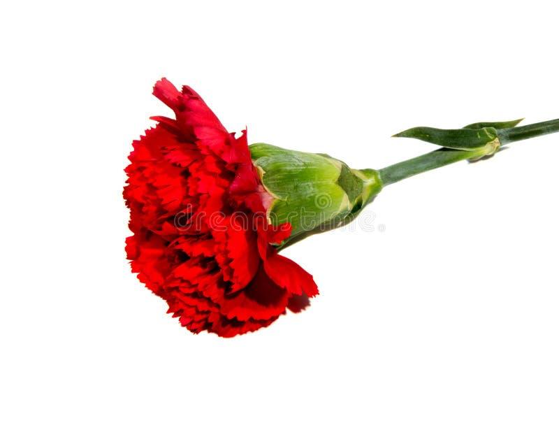 goździka kwiatu odosobniony czerwony biel obraz stock