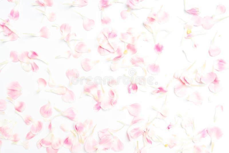 goździka kwiatu płatki na bielu fotografia stock