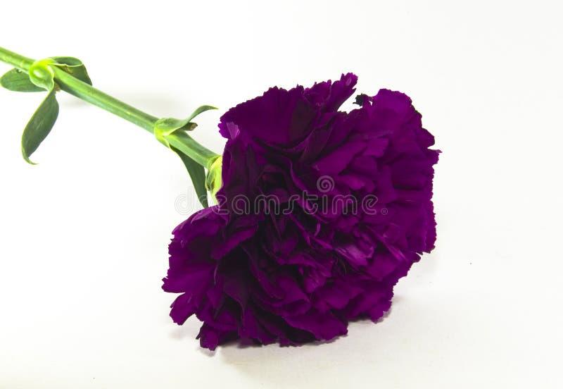 goździka kwiatu purpury fotografia royalty free