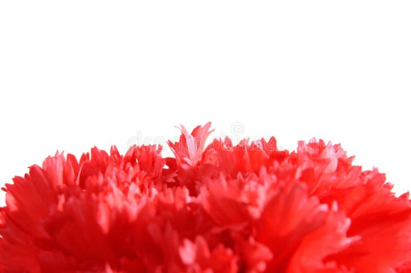 goździka macro czerwień obrazy stock