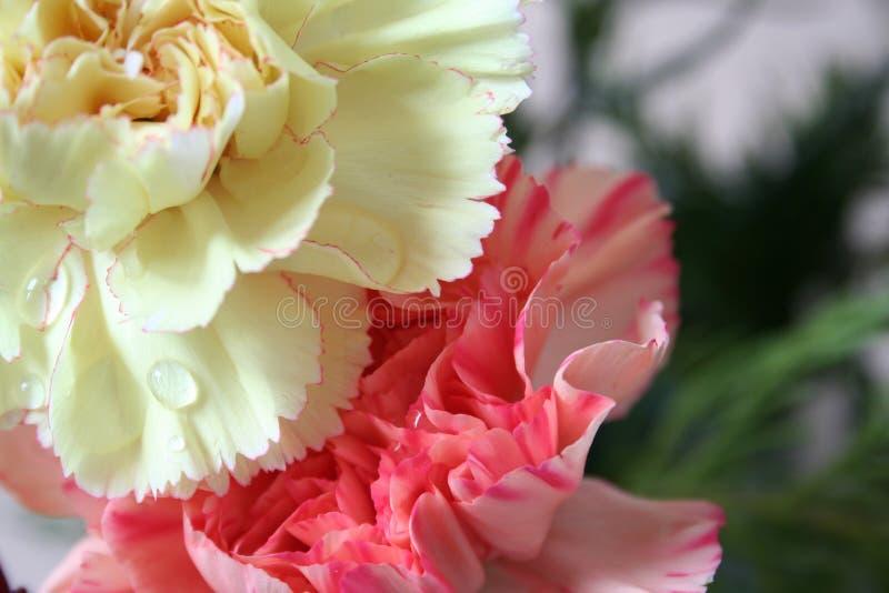 goździki różowią żółty obrazy royalty free