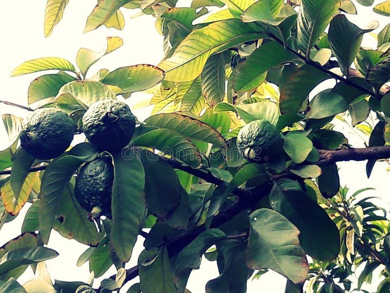 Goa fruktträd fotografering för bildbyråer