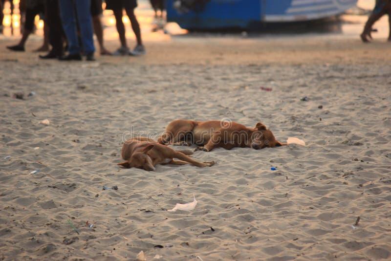 Goa, India Cani su una spiaggia fotografia stock