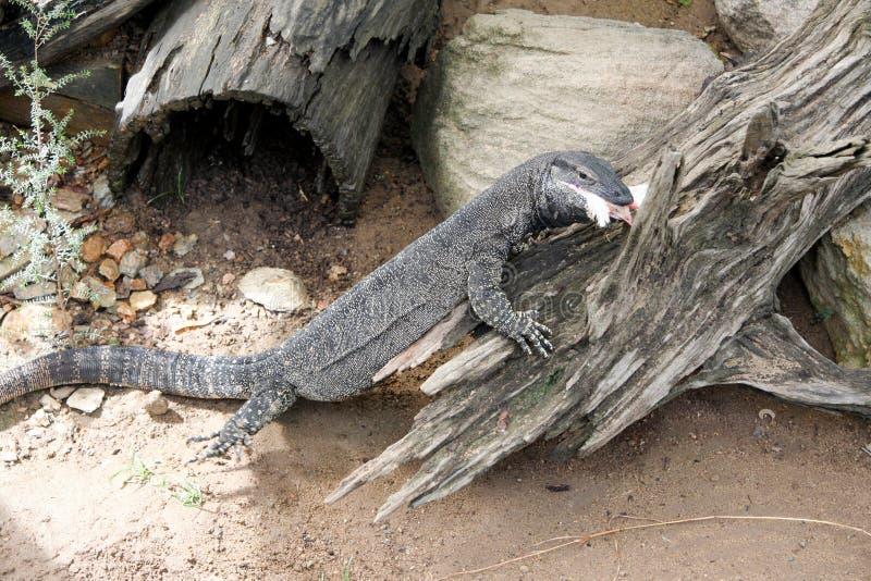 Goanna-Monitor-Eidechse Australien stockbild