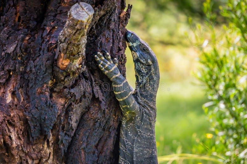 Goanna-Monitoreidechse Varanus auf einem Baum, Profilansicht stockfotografie