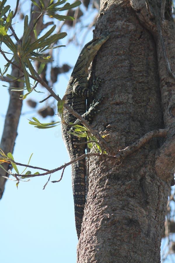 Goanna w górę Banksia drzewa obraz royalty free