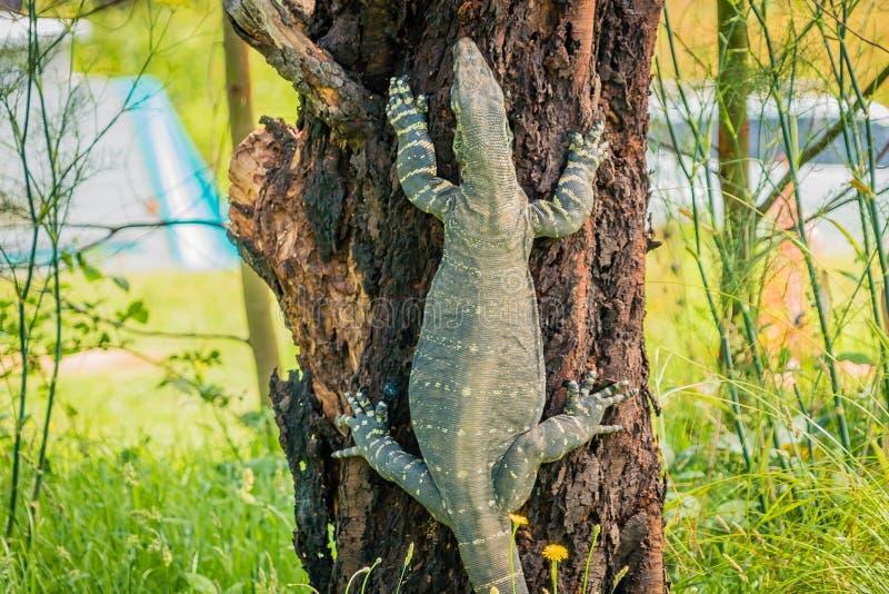 Goanna-Warane der Klasse Varanus, einen Baum kletternd lizenzfreies stockbild