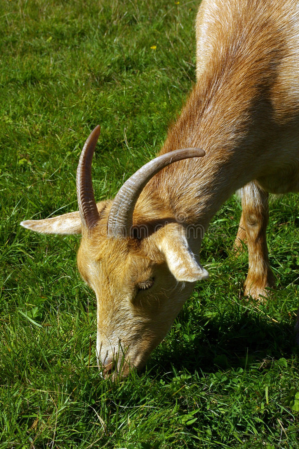 Goat 11 stock photo