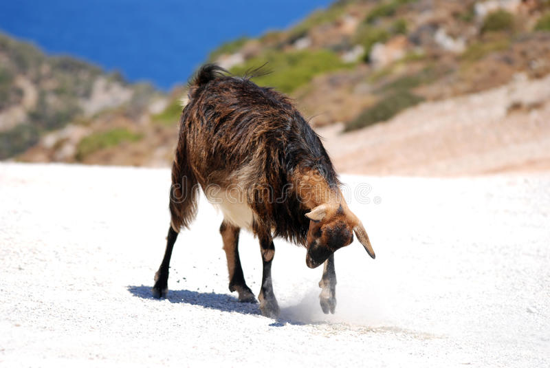 Download Goat Royalty Free Stock Photography - Image: 11346817