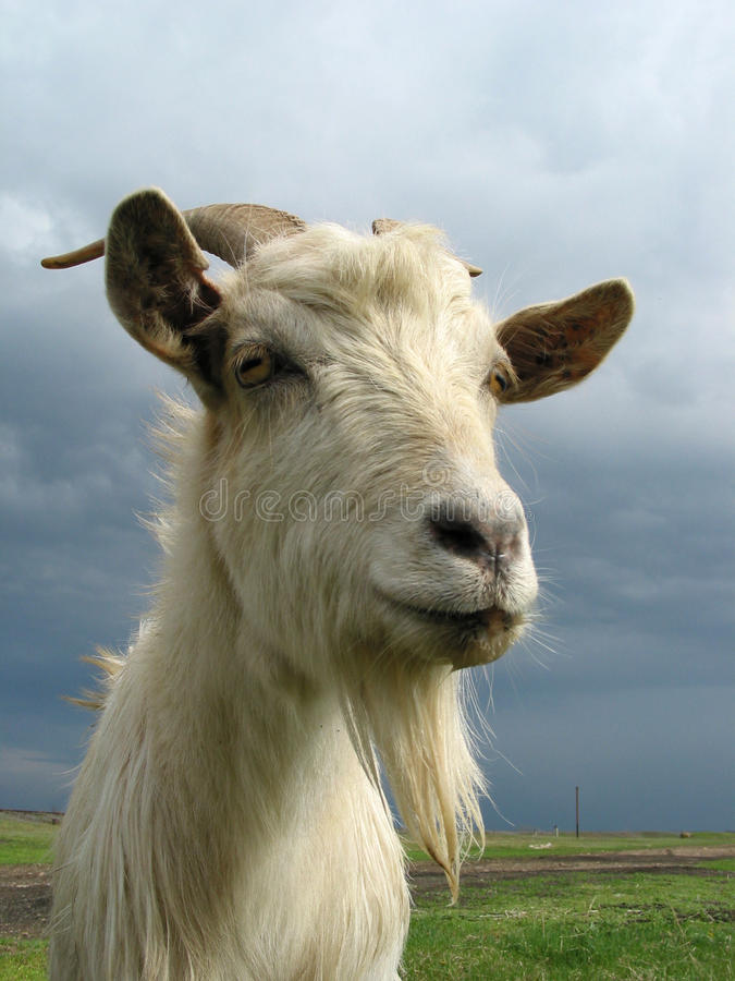 Download Goat stock photo. Image of animal, grass, young, white - 12439548