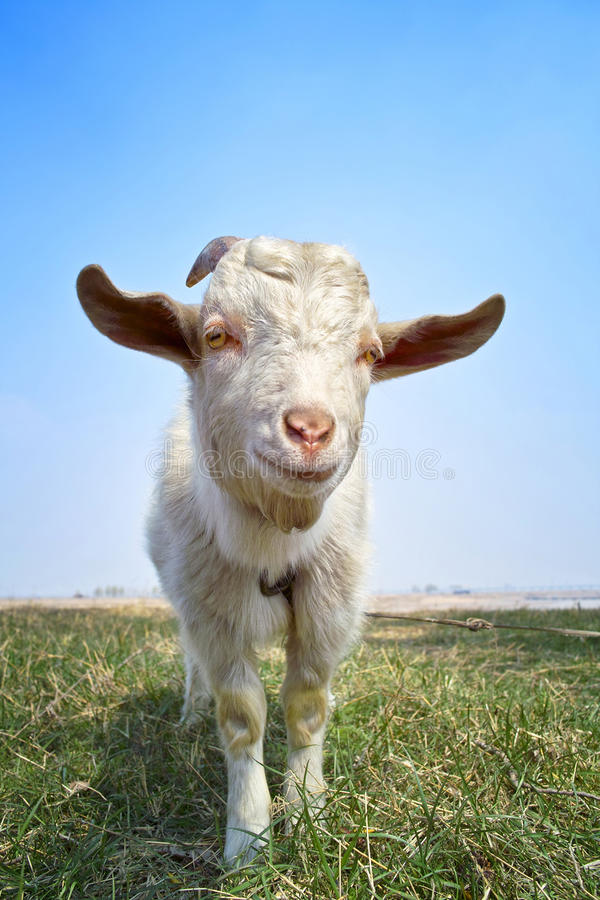 Free Goat Royalty Free Stock Photos - 13892488