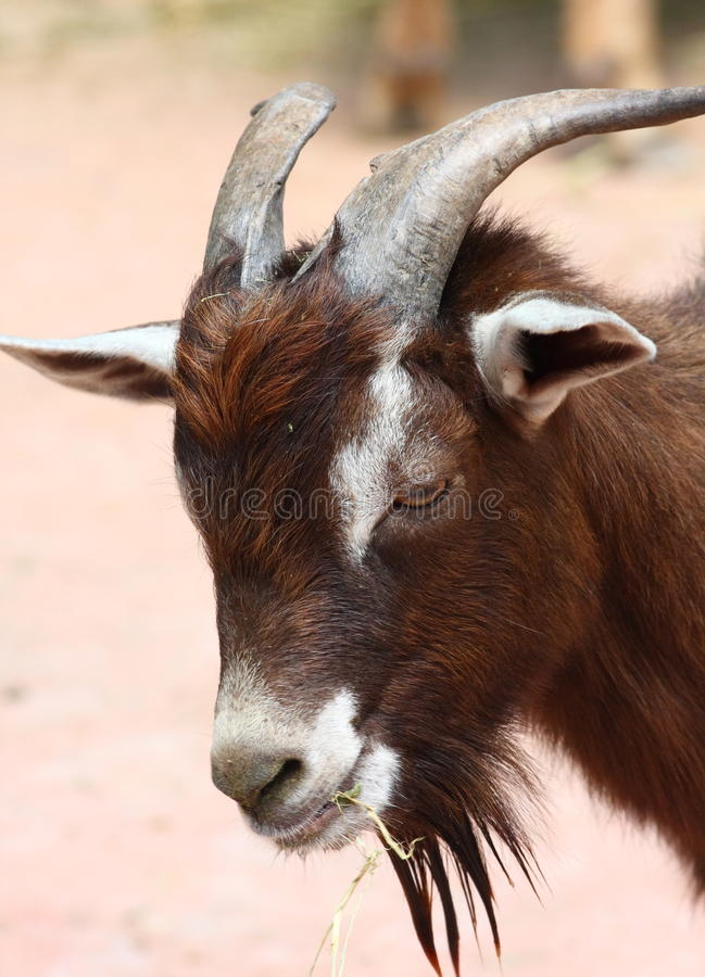 Download Goat Royalty Free Stock Photography - Image: 14097657
