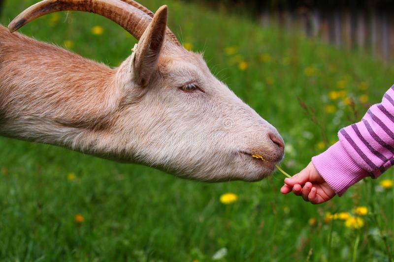 Download Goat stock image. Image of dandelion, juicy, flower, country - 14410063