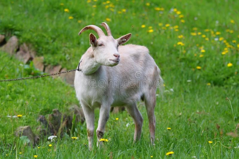 Download Goat stock photo. Image of goat, white, countryside, neck - 14418306