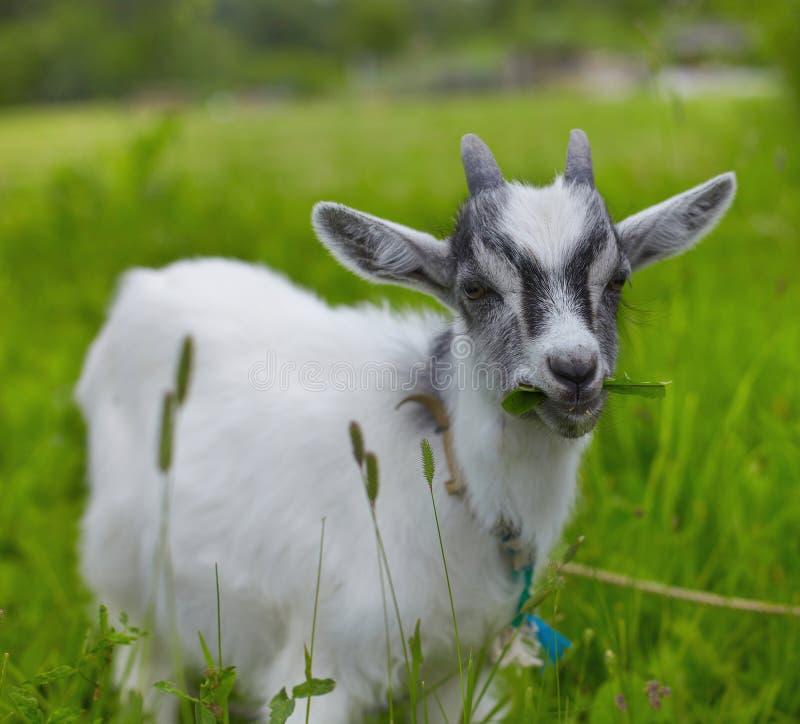 Download Goat stock image. Image of portrait, ears, field, little - 14915797