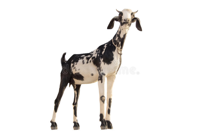 Goat. Black and white goat standing up isolated on a white background stock image