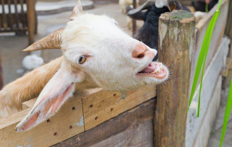 Download Goat stock image. Image of farming, face, rail, farm - 19179717