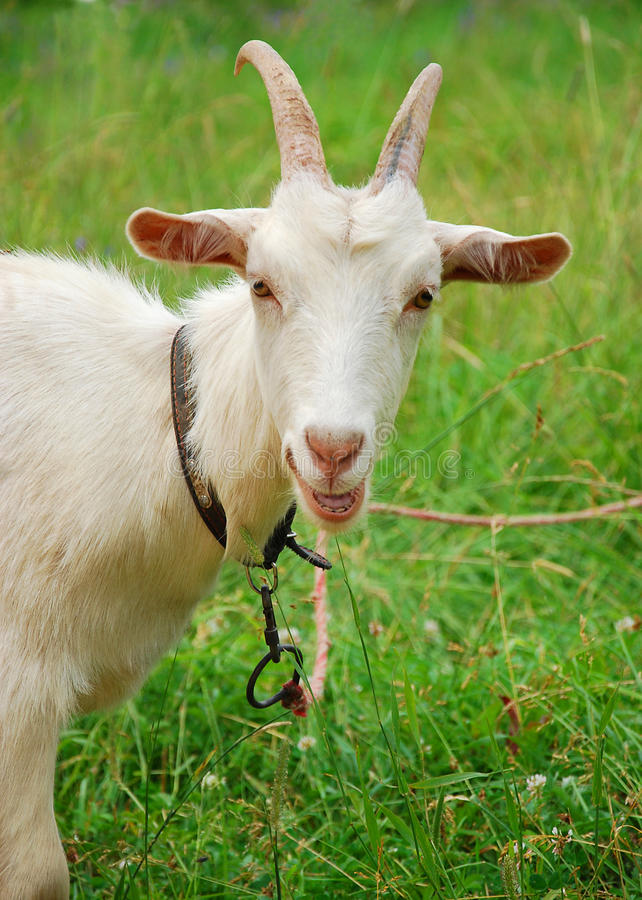 Free Goat Royalty Free Stock Photo - 19220565