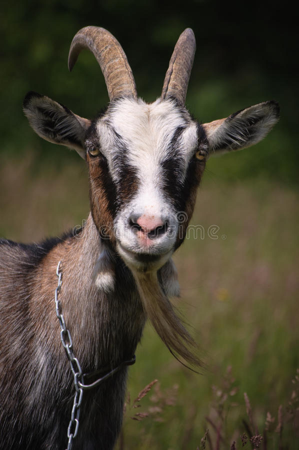 Goat. Portrait of the goat with the chain stock images